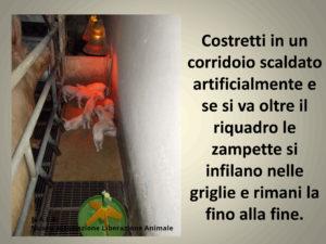 animali-maltrattati-allevamento-salvali