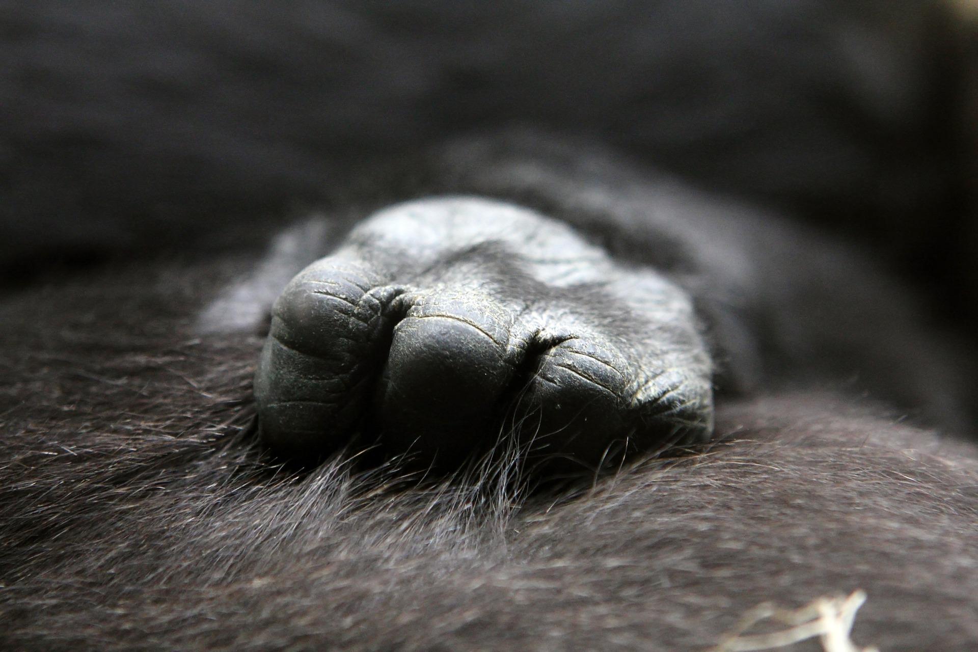gorilla-animali-liberazione-associazione