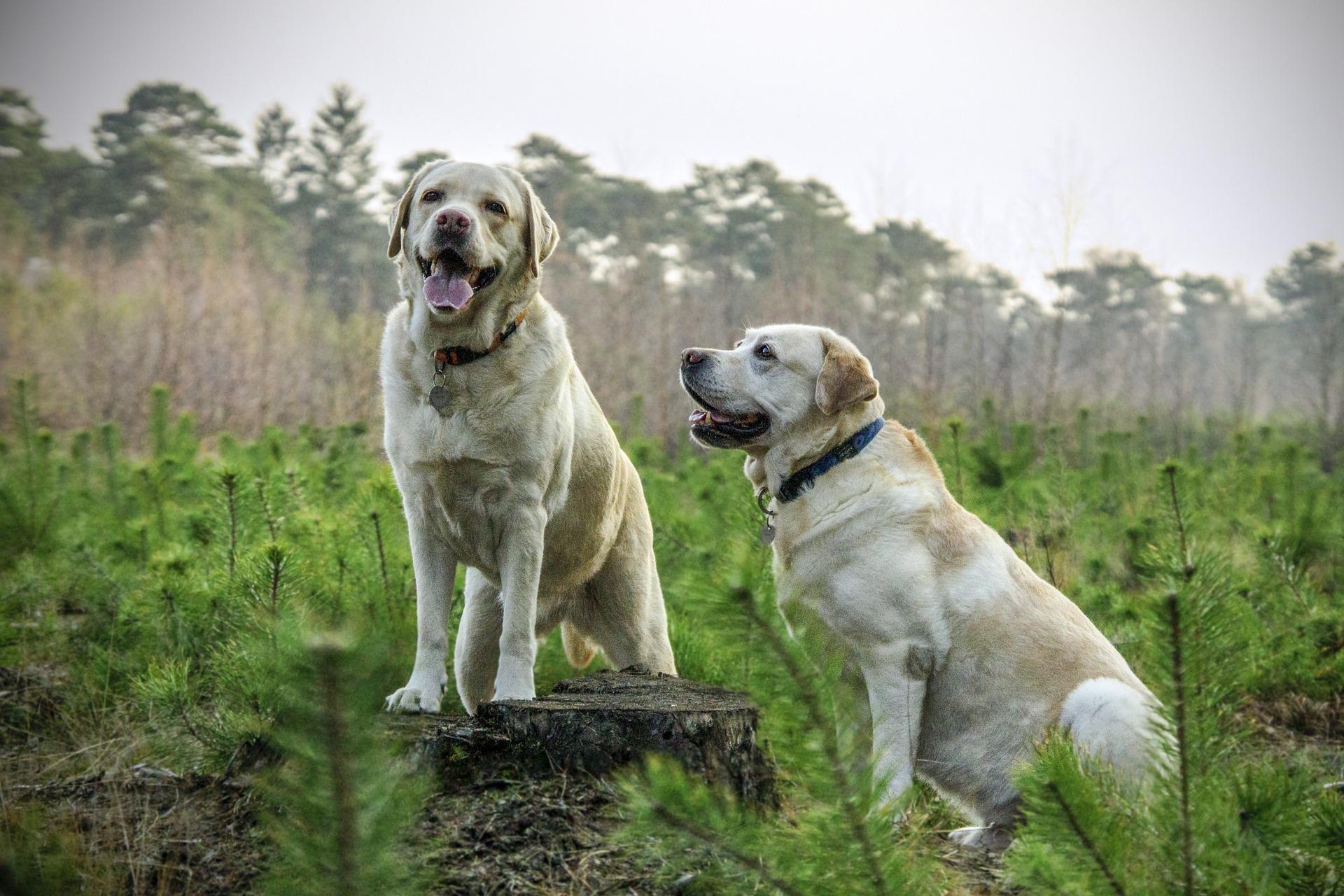 labrador-animali-liberazione-associazione