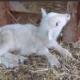 santuario-capra-libera-tutti-roma-nala-associazione-animali-genova